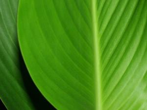 green-leaf-FI SC